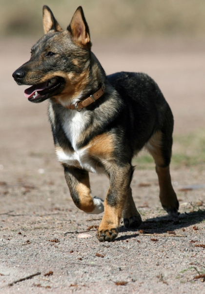 640948-swedish-vallhund